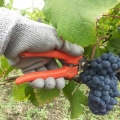 vendemmia-pinot-nero-x-rose