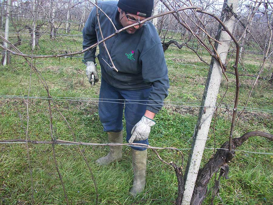 Marco Formaggini pruning the vineyard on the hills of Vicobarone, Piacenza, Italy